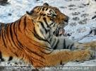 Sibirischer Tiger Winter 14