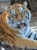 Sibirischer Tiger Winter 23