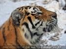Sibirischer Tiger Winter 25