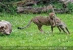 Spielende Geparden
