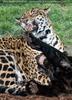 Spielende Jaguare