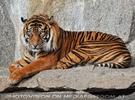 Sumatra Tiger 01