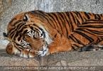 Sumatra Tiger 03
