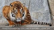 Sumatra Tiger 09