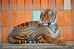 Sumatra Tiger 10