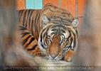 Sumatra Tiger 11