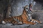 Sumatra Tiger 12