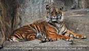 Sumatra Tiger 13