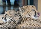 Gepard Twins