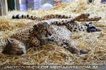 Geparden Nest