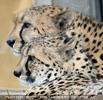 Geparden Paar