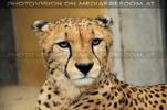 Proud Gepard