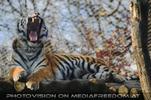 Screaming Tiger