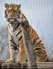 Tiger Blick