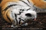 Tiger schläft