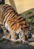 Tigertränke