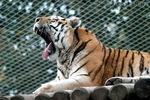 Des Tigers Gähnlabor