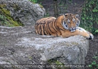 Tiger auf einem Felsen