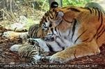Tiger Babys 01