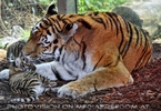 Tiger Babys 02