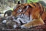 Tiger Babys 03
