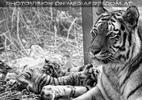 Tiger Babys 05