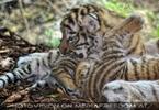 Tiger Babys 09