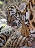 Tiger Babys 10