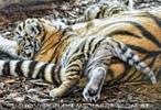 Tiger Babys 11