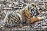 Tiger Babys 12