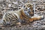 Tiger Babys 13