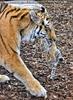 Tiger Babys 17