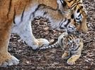 Tiger Babys 19