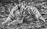 Tiger Babys 23