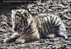 Tiger Babys 24