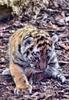 Tiger Babys 26