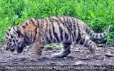 Tiger Babys 28
