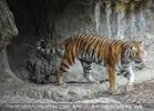 Tiger bei einer Höhle