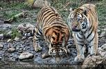 Tiger Dämmerung