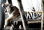 Tiger Gäähnerei