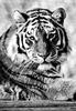 Tiger in SW