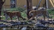 Tiger Karavane
