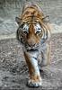 Tiger kommt zu Tigerman