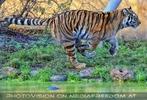 Tiger Lauf