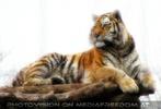 Tiger Liege