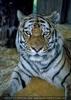 Tiger Morphing - Tattoo Vorlage