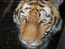 Tiger Portait