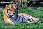 Tiger Rescue 13