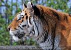 Tiger Rescue 15