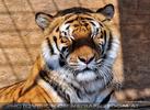 Tiger Rescue 23